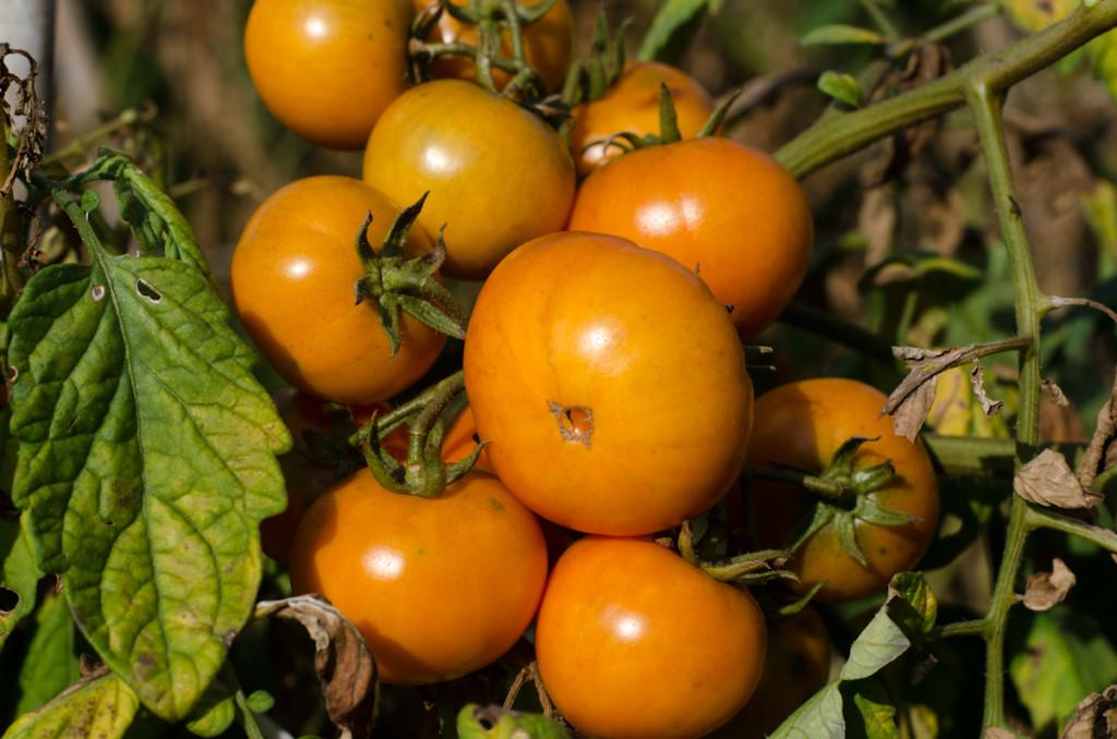 pomodori-8482